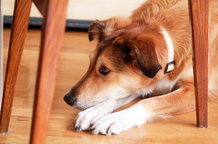 Portrait of collie dog.