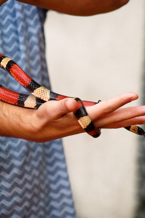 Man holds in hands reptile Common King snake Lampropeltis getula kind of snake.