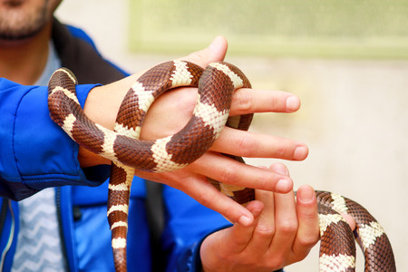 Man holds in hands reptile Milk snake Lampropeltis triangulum Arizona kind of snake.