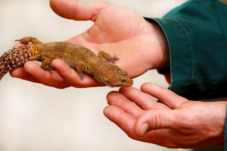 Guy with gecko. Man holds in hands reptile gecko. Common leopard reptile gecko of pets. Exotic tropical cold-blooded animals, zoo. Male hands is holding common gecko. Pet at home gecko. 免版税图像