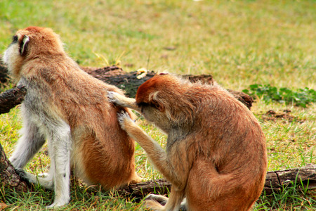 Couple of monkey is grooming. Male monkey checking for fleas and ticks in female.