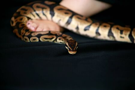Leg with Royal Python snake.