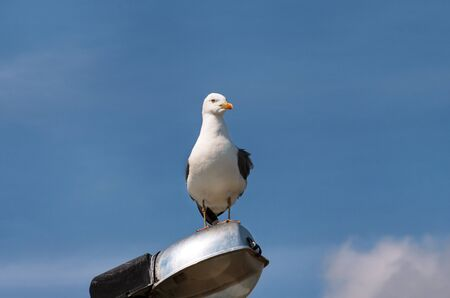 Portrait of single seagull.