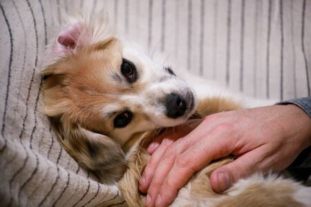 Portrait of sweet little mixed breed dog on bed Reklamní fotografie