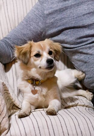 Portrait of sweet little mixed breed dog in next to his owner on bed 스톡 콘텐츠