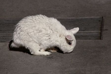 View of european white rabbit stands on sidewalk, pavement in city street and center square, close up. Portrait of decorative bunny with white fur on dark background. Rabbits are tame and cute pets.