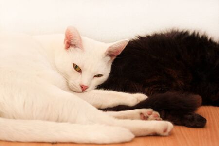Black and white cats rest and sleep in living room of apartment. Two dear sweet female cats enjoy at home on wooden cabinet in comfortably furniture, asleep and feeling happy in morning. Pet concept.