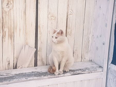 Portrait of beautiful domestic white cat sitting on wood bench or beam against background rustic old wooden wall of house, close up. Lonely cat at village, enjoys and rests, posing in front of camera. Reklamní fotografie