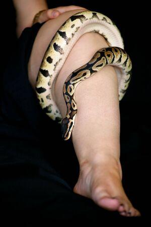 Leg with Royal Python snake. Reklamní fotografie - 135465962