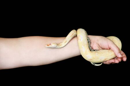Female hands with snake. Woman holds Boa constrictor albino snake in hand with jewelry. Exotic tropical cold blooded reptile animal, Boa constrictor non poisonous species of snake. Pet concept.