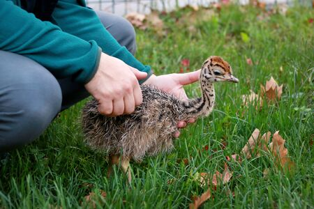 Portrait of little an african ostrich chick in male hands at ostrich farm. Man holds cute ostrich chicken of 5 days old in green grass at zoo. Small young ostrich bird explores natural environment.
