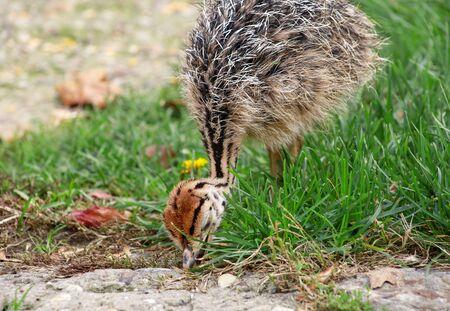 Portrait d'un petit poussin d'autruche africain à la ferme d'autruches. Poulet d'autruche assez mignon de 5 jours marchant dans l'herbe verte et le champ au zoo. Petit jeune oiseau d'autruche explore l'environnement naturel.