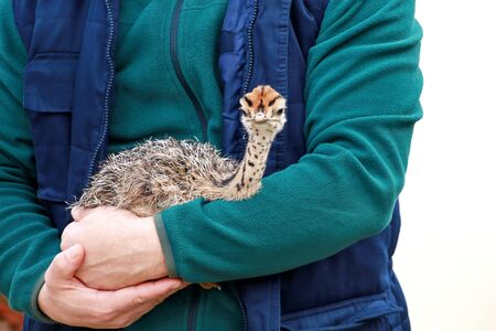 Portrait of little an african ostrich chick in male hands of zoologist at zoo.