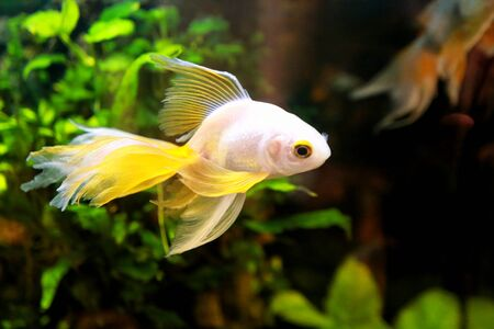 Goldfish picture. Lonely small Japanese fish swims in an aquarium, close up. Beautiful Golden fish in a freshwater aquarium on a black background with decorative green underwater plants.