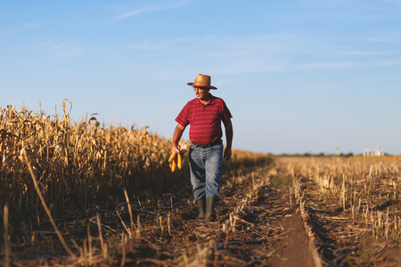 Senior farmer walking in corn field and examining crop before harvesting. Banco de Imagens