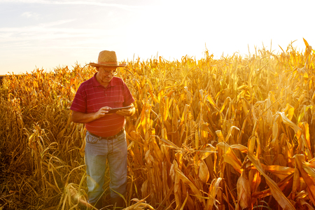 Senior farmer standing in corn field with tablet and examining crop before harvesting. Stock Photo