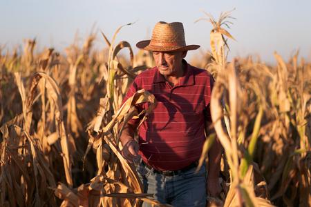 Senior farmer standing in corn field and examining crop before harvesting.