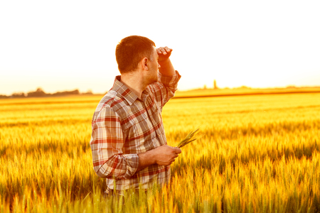 Farmer standing in a wheat field examining corp.