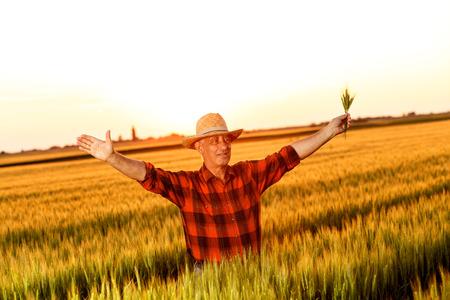 Senior farmer standing in a wheat field examining corp.