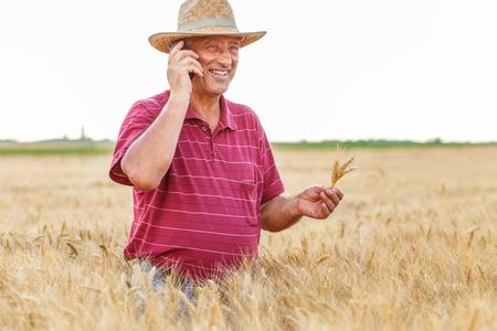Senior farmer standing in a wheat field examining crop.
