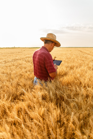 Senior farmer standing in a wheat field examining crop and looking at tablet.