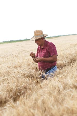Senior farmer standing in a wheat field examining crop. Фото со стока - 121561236