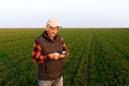Senior farmer in young wheat field examining crop in his hands.