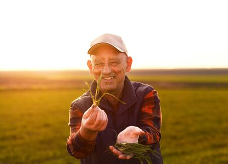 Portrait of senior farmer standing in young wheat field examining crop in his hands.