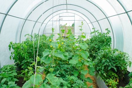 Greenhouse in the early summer with crocheted and tied cucumbers and tomatoes Stock Photo