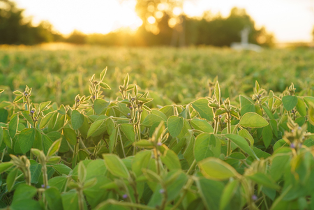 Young soybean plants with flowers on soybean cultivated field. Agricultural soy plantation background. Green growing flowering soybeans Stock Photo