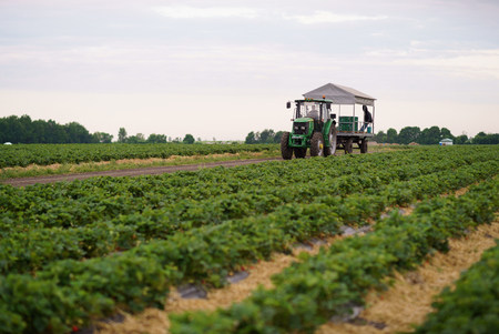 Collecting strawberries on the field tractor transporting