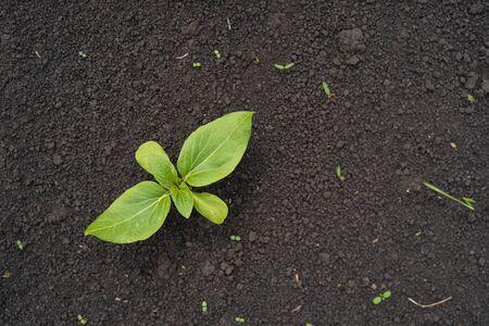 Plántula de girasol verde pequeña creció desde el suelo en el campo