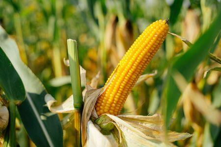 Ripe ear of corn on the field Stockfoto