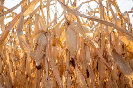 Rural landscape: Field of corn ready for harvest Zdjęcie Seryjne