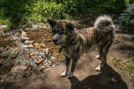 Akita inu brindle in the natural environment