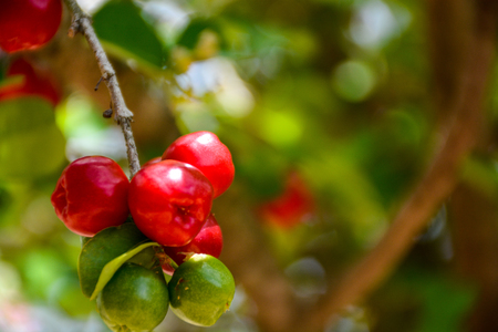 Fresh organic Acerola cherry on the tree, High vitamin C and antioxidant fruits