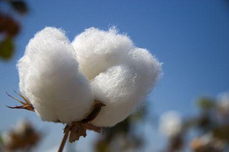 agronomy: Cotton