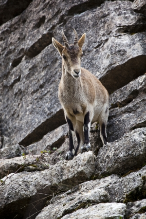 mountain goat in the Torcal of Antequera photo