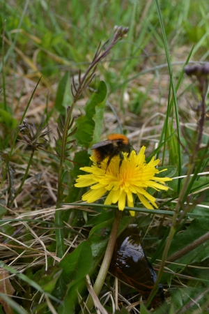 prospector: Bumblebee dining on a Dandelion