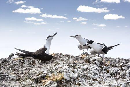 three sooty tern birds, Onychoprion fuscatus seabird singing clifftop