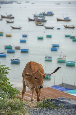 cow on a cliff top overlooking the fishing boats of Mui Ne, Vietnam Stock Photo