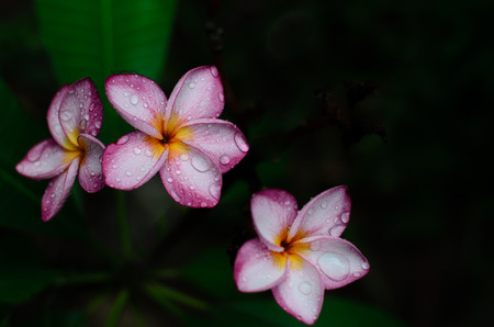 five petals: Pink flowers with the water drops on the petals after rain Stock Photo