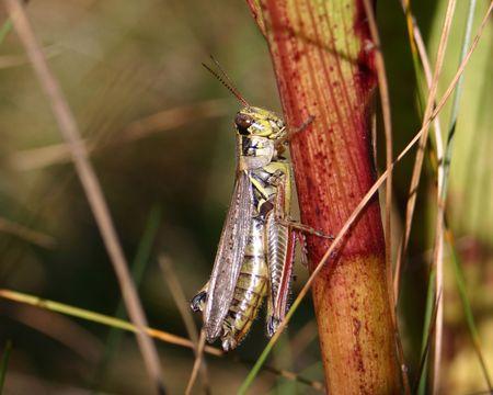 Grasshopper on a Stalk