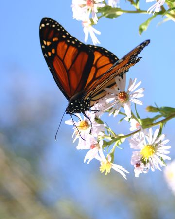 Monarch Butterfly on Wild Asters