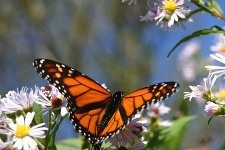 Monarch floating onto asters