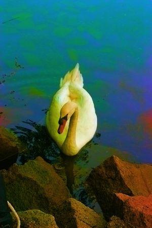Colorful Swan Reklamní fotografie