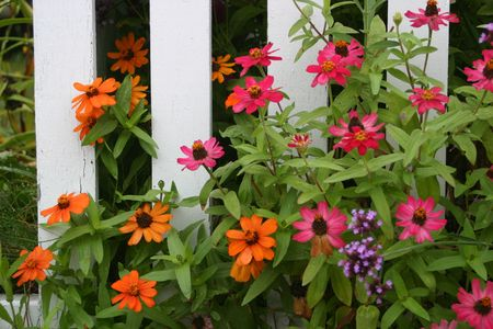 Zinnias by a picket fence Stock fotó