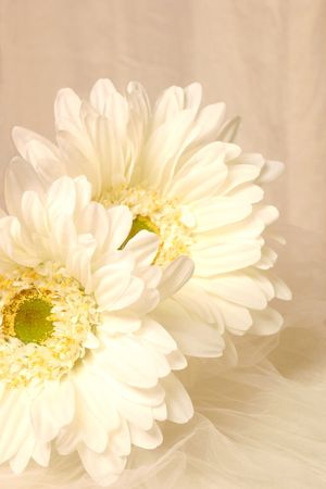 Two white daisies on a white background Reklamní fotografie