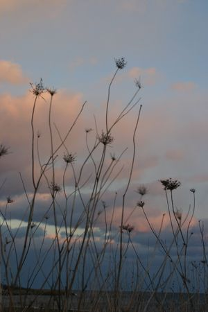 Queen Annes lace in an early winter wind photo