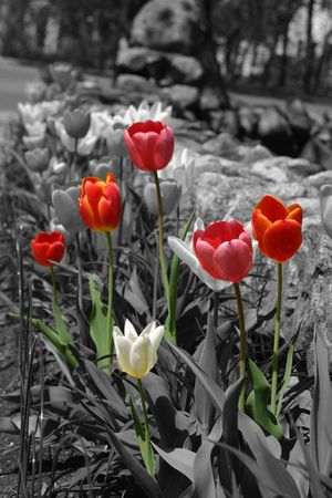colorized: Colorized Red and Pink Tulips in a black and white image
